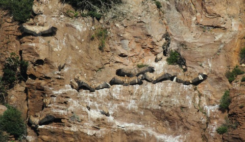 THE ANNUAL GRIFFON VULTURE CENSUS (2019)
