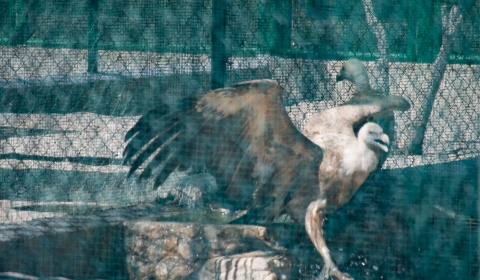 Restocking, 25 griffon vultures from Extremadura to Sardinia