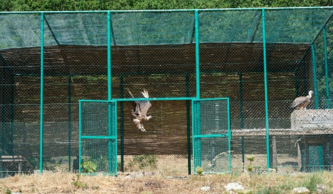 Where are the released griffon vultures?